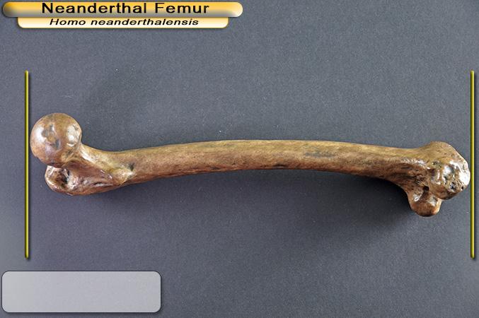 Xương đùi của người Neanderthal có niên đại hơn 124 ngàn năm tuổi